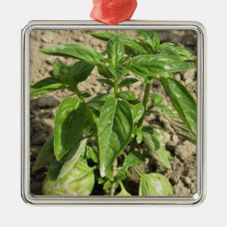 Single fresh basil plant growing in the field metal ornament