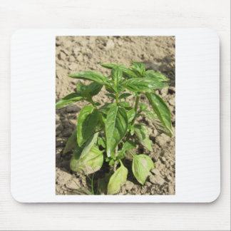 Single fresh basil plant growing in the field mouse pad