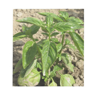 Single fresh basil plant growing in the field notepad