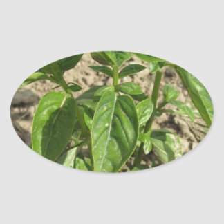 Single fresh basil plant growing in the field oval sticker