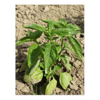 Single fresh basil plant growing in the field postcard