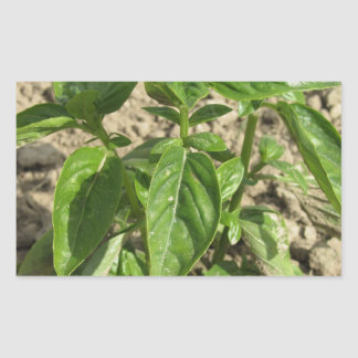 Single fresh basil plant growing in the field rectangular sticker