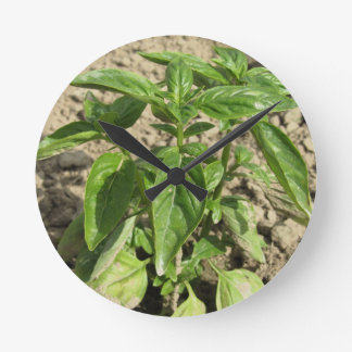 Single fresh basil plant growing in the field round clock