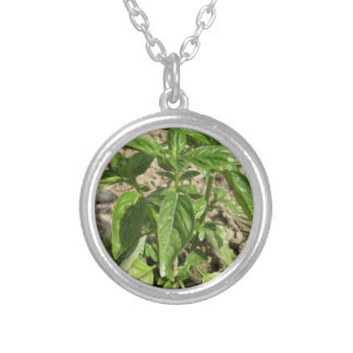 Single fresh basil plant growing in the field silver plated necklace