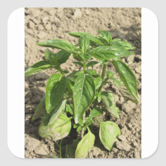 Single fresh basil plant growing in the field square sticker