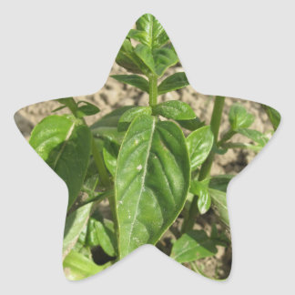 Single fresh basil plant growing in the field star sticker