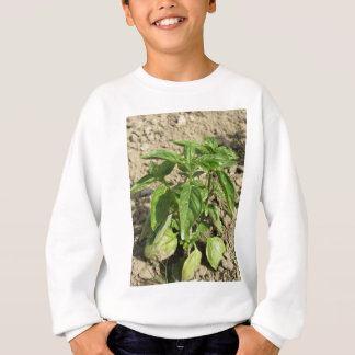 Single fresh basil plant growing in the field sweatshirt