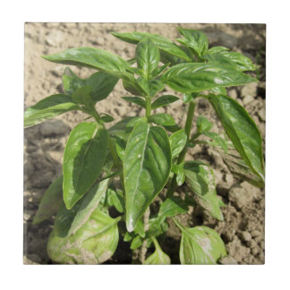 Single fresh basil plant growing in the field tile