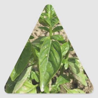Single fresh basil plant growing in the field triangle sticker