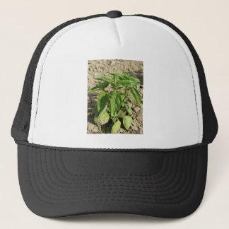 Single fresh basil plant growing in the field trucker hat