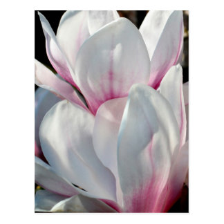 Single Magnolia Flower Postcard