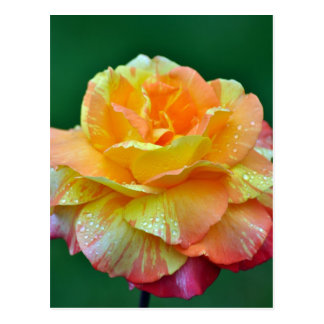 Single orange tea rose postcard