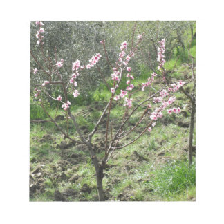 Single peach tree in blossom. Tuscany, Italy Notepad
