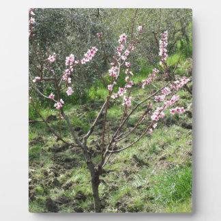 Single peach tree in blossom. Tuscany, Italy Plaque