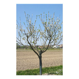 Single pear tree in blossom in Tuscany, Italy Stationery Paper