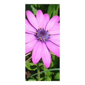 Single Pink African Daisy Against Green Foliage Customised Rack Card