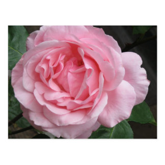 Single Pink Rose - photograph Postcard
