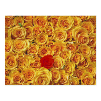 Single Red in Yellow Bed Roses Postcard