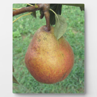 Single red pear hanging on the tree plaque