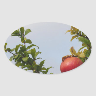 Single red pomegranate fruit on the tree in leaves oval sticker