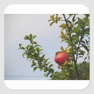 Single red pomegranate fruit on the tree in leaves square sticker
