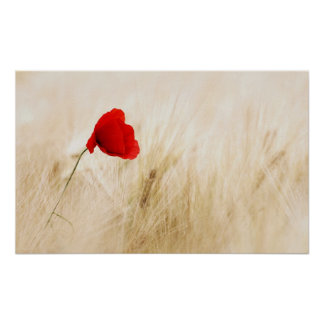 Single Red Poppy in a Grassy Field Poster
