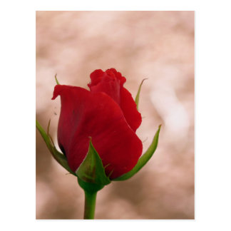 Single Red Rose Postcard