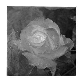 Single rose flower with water droplets in spring tile