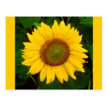 Single Sunflower Green Leaves Yellow Flower Postcards