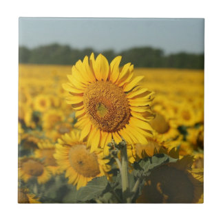 Single Sunflower in a Field of Sunflowers Ceramic Tile