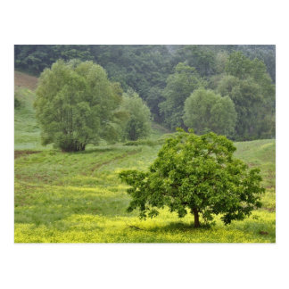Single tree in agricultural farm field, Tuscany, 2 Postcard