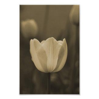 Single Tulip flower photography print sepia tone