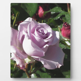 Single violet rose flower with red roses around plaque