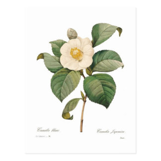 Single white camellia postcard