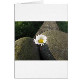 Single white daisy flower between the stones card