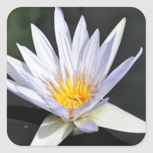 Single white water lily. square stickers