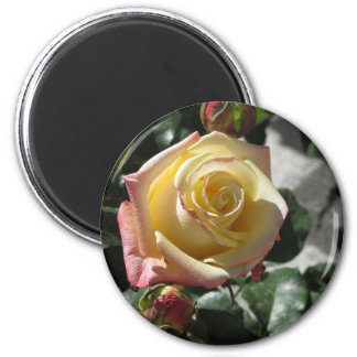 Single yellow rose flower in spring magnet