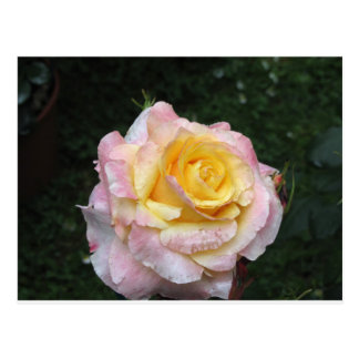 Single yellow rose flower with water droplets postcard
