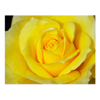 Single yellow rose print postcard