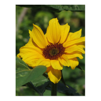 Single yellow sunflower with green leaves postcard