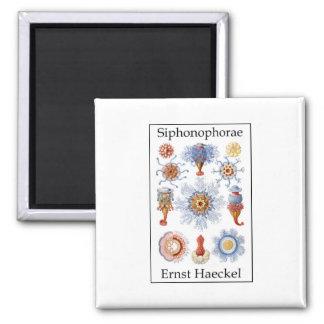 Siphonophorae by Ernst Haeckel Magnet