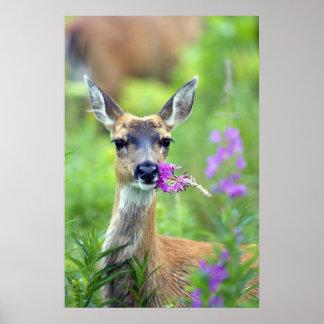 Sitka Black Tailed Deer Poster