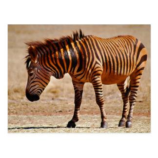 Sizzling zebra postcard