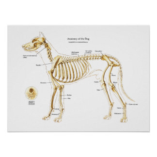 Skeletal Anatomy of the Dog Poster