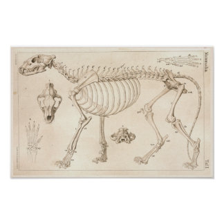 Skeleton of Lion Veterinary Anatomy Print