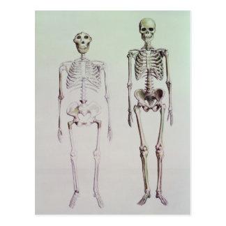 Skeletons of Australopithecus Boisei Postcard