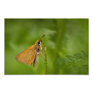Skipper Butterfly Photo Print