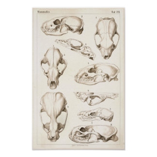 Skulls of Mammals Veterinary Anatomy Print