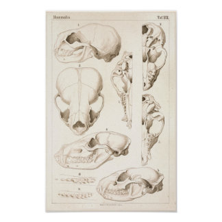 Skulls of Mammals Veterinary Anatomy Print