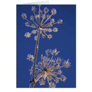 Skyward view of Cow Parsnip in winter covered in Card